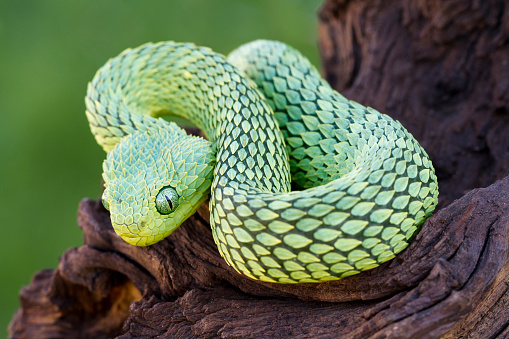 African Bush Viper Coiled to Strike