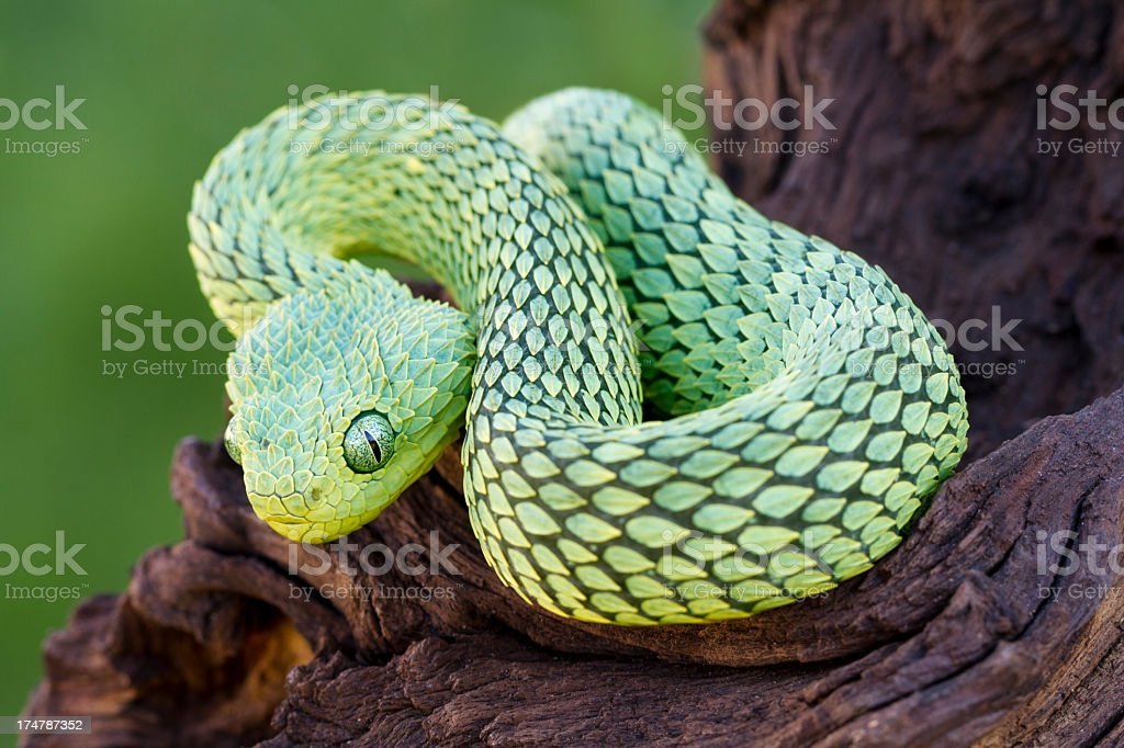 African Bush Viper stock photo