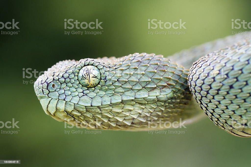 African Bush Viper royalty-free stock photo