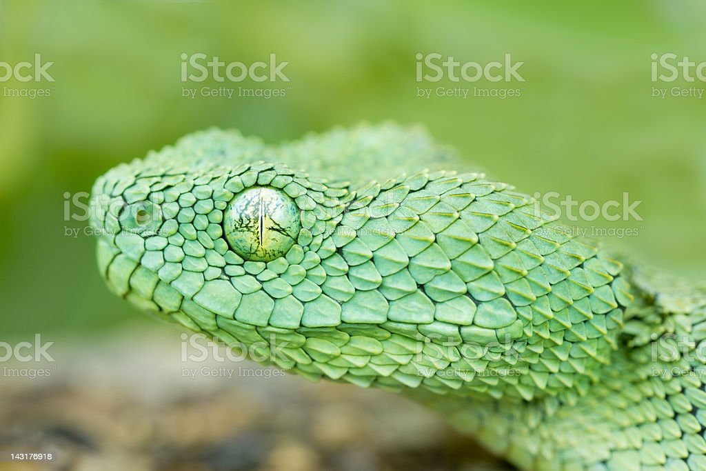 African Bush Viper Snake stock photo