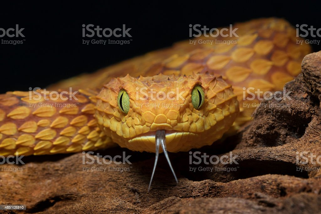 African Bush Viper - Venomous Snake stock photo