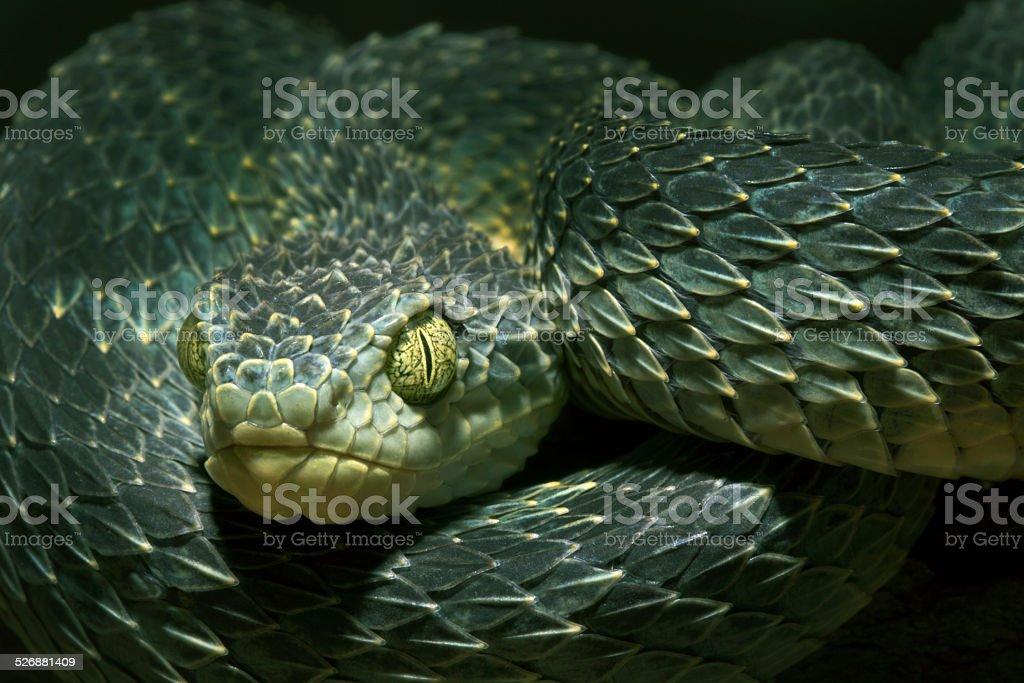 African Bush Viper -Venomous Snake stock photo