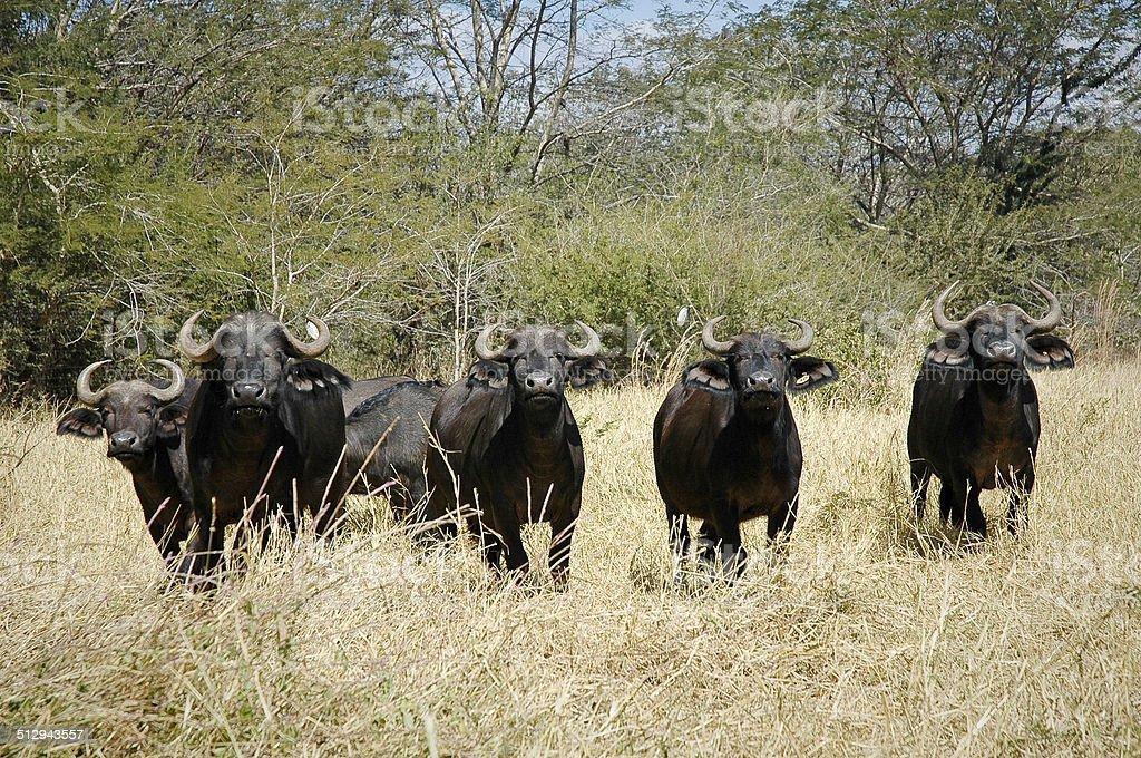 African Cape Buffalos in Zambia stock photo