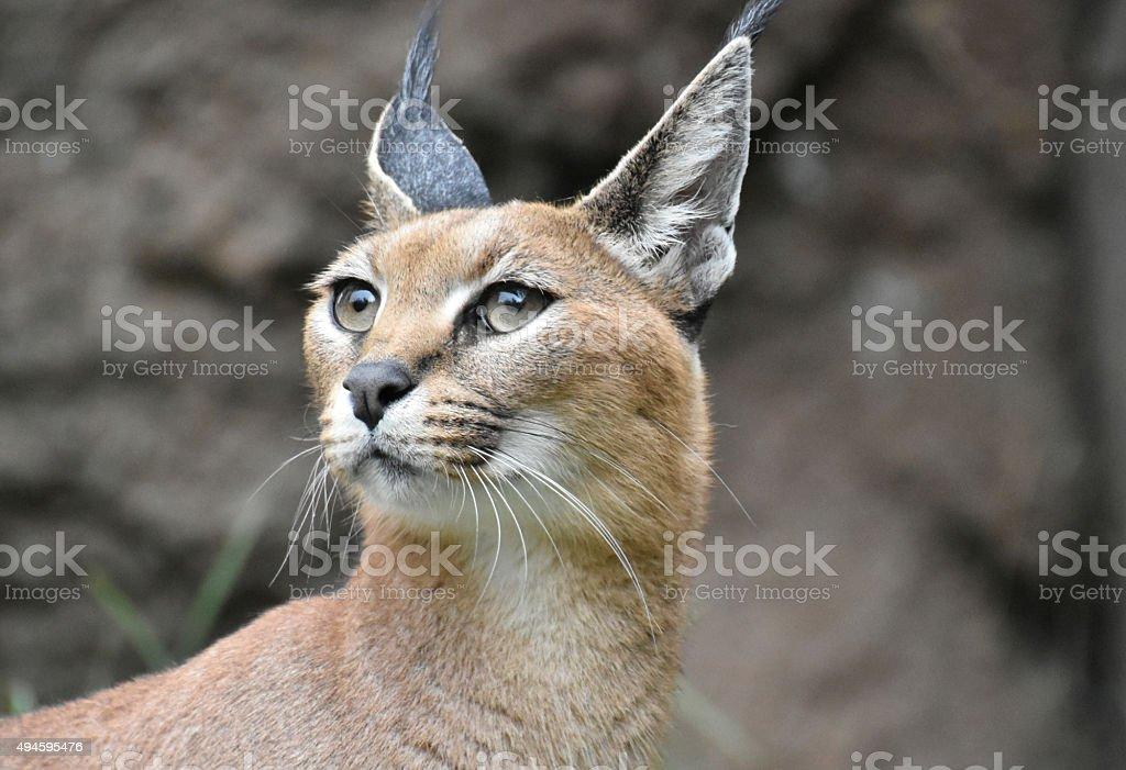 African Caracal Cat stock photo
