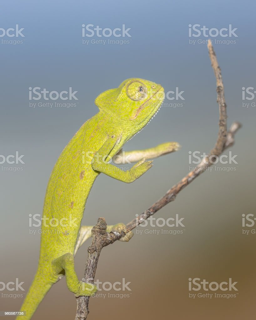 African chameleon balancing on stick stock photo