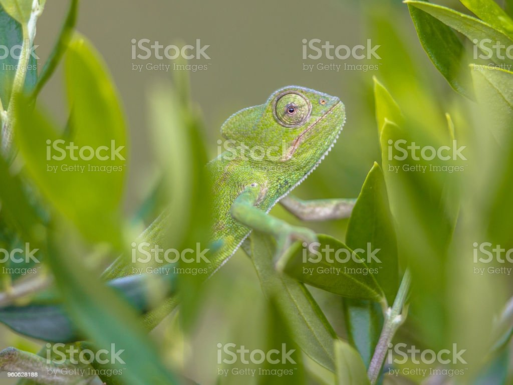 African chameleon climbing in natural tree habitat stock photo