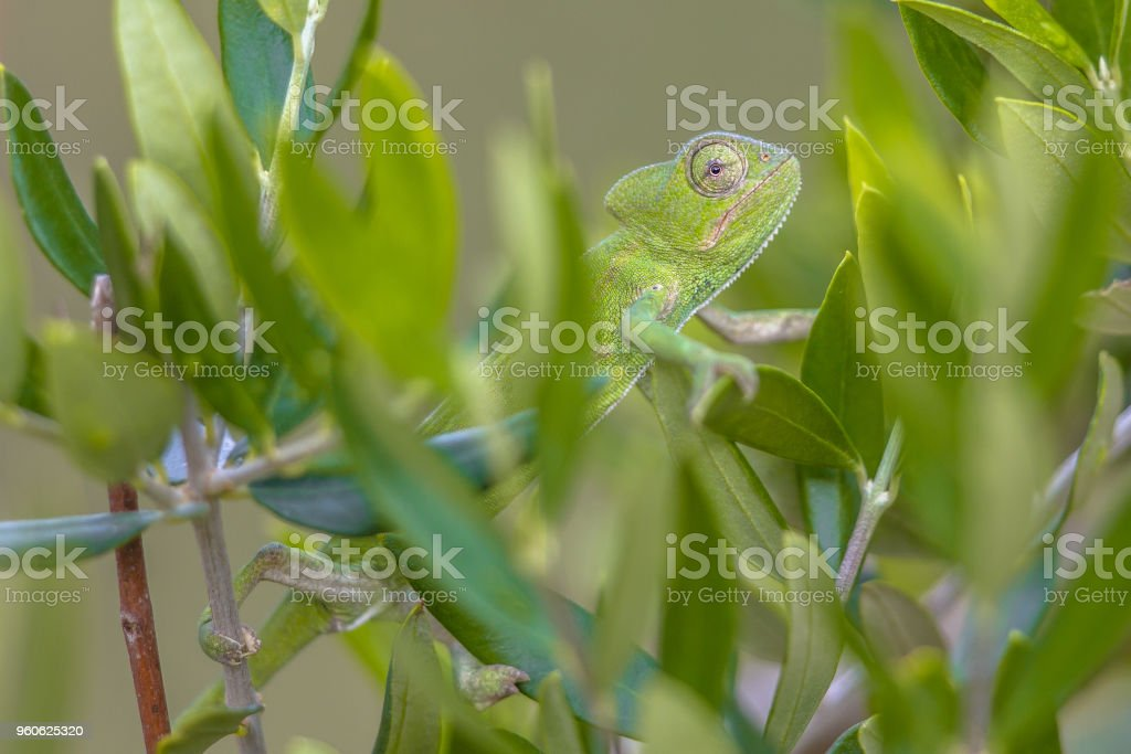African chameleon climbing in tree habitat stock photo