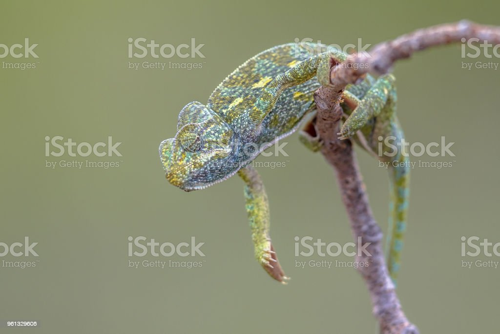 African chameleon climbing on branch stock photo