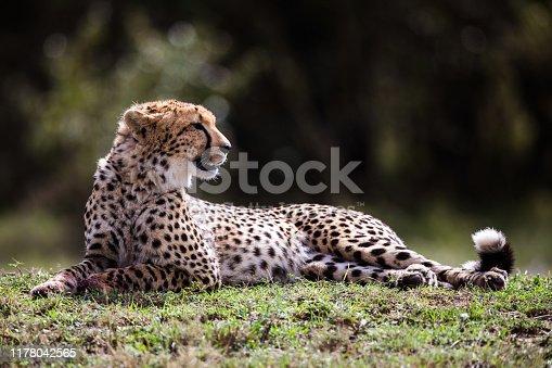 Masai Mara cheetah relaxing in grass. Copy space.