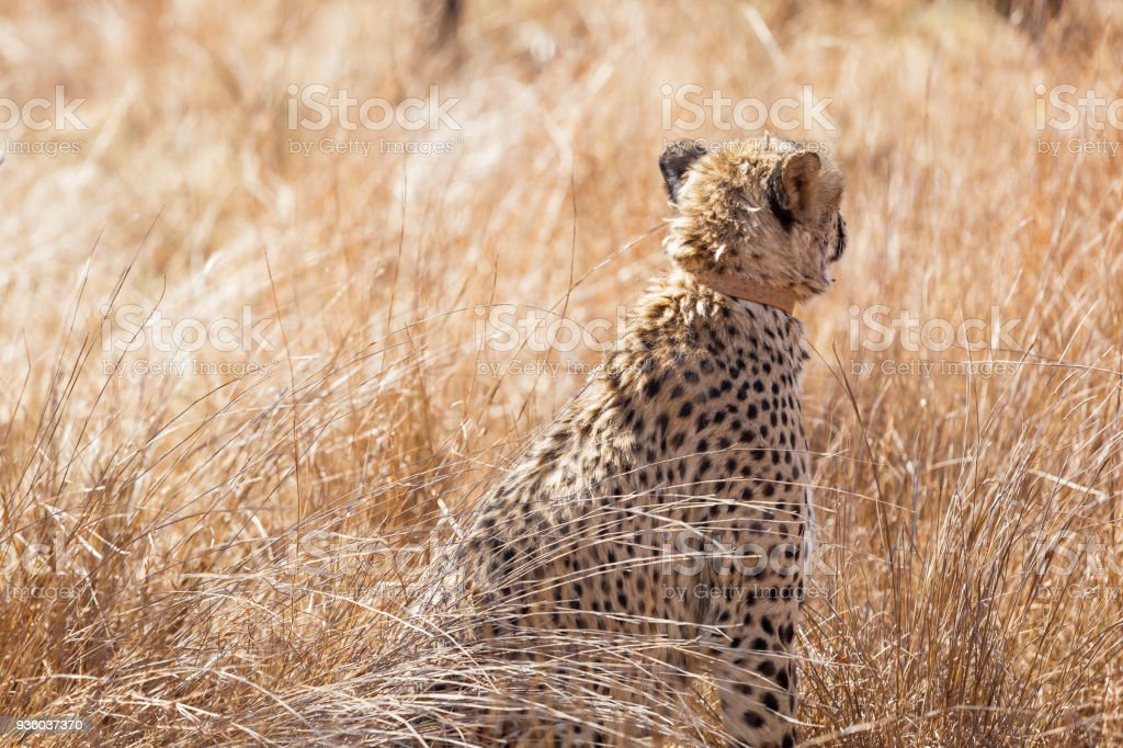 African Cheetah Sitting In Long Grass Stock Photo More