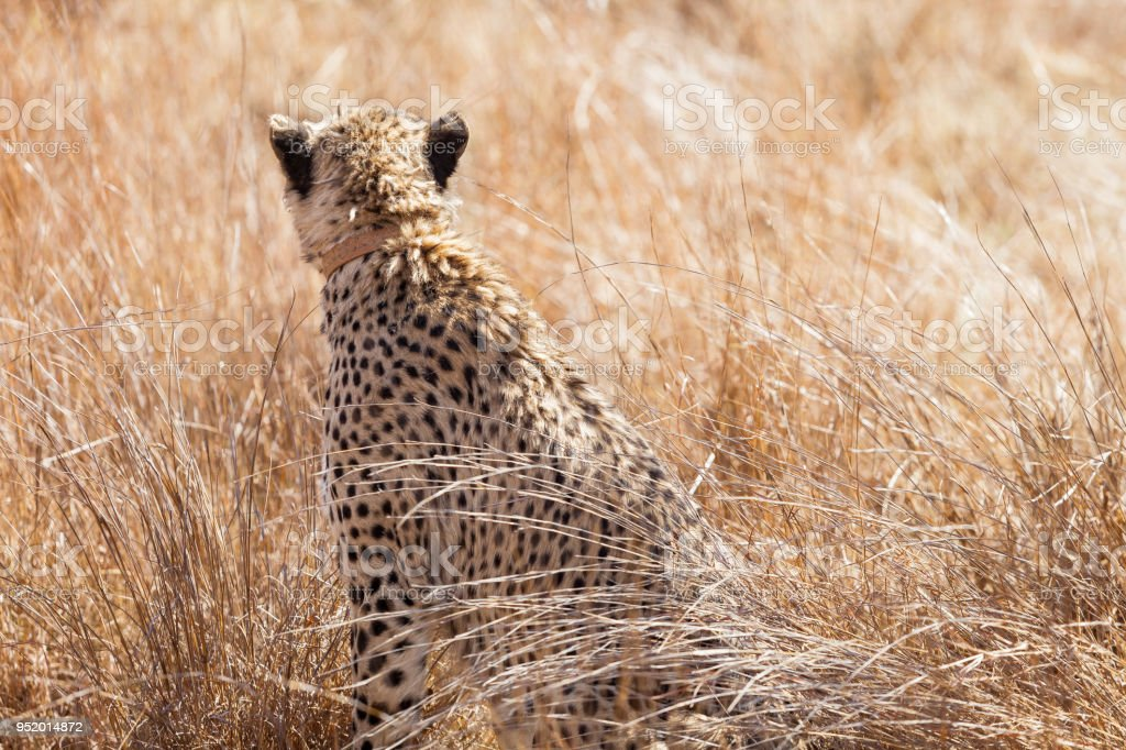 African Cheetah Sitting In Long Grass Stock Photo Download