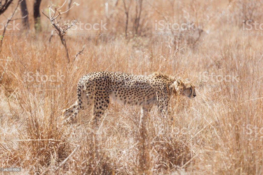 African Cheetah Stalking Prey In Long Grass Stock Photo