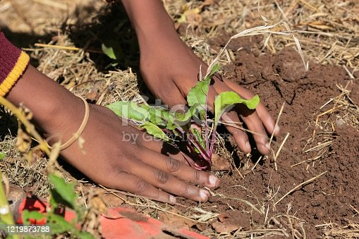 Close up of African child hands planting vegetables in soil