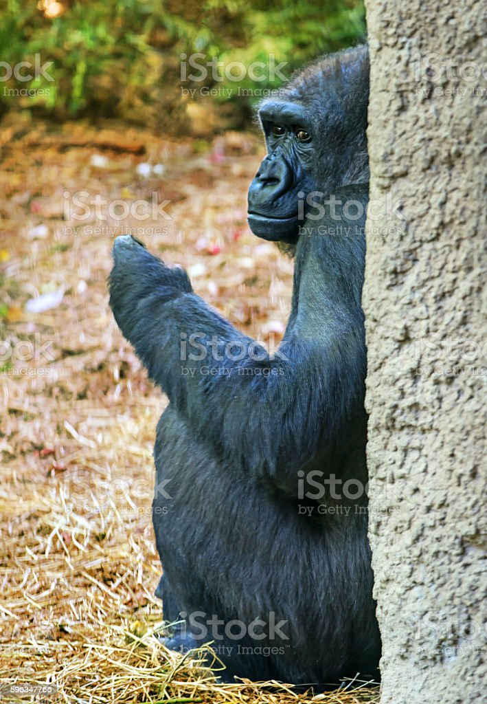African Chimpanzee resting by the tree royalty-free stock photo