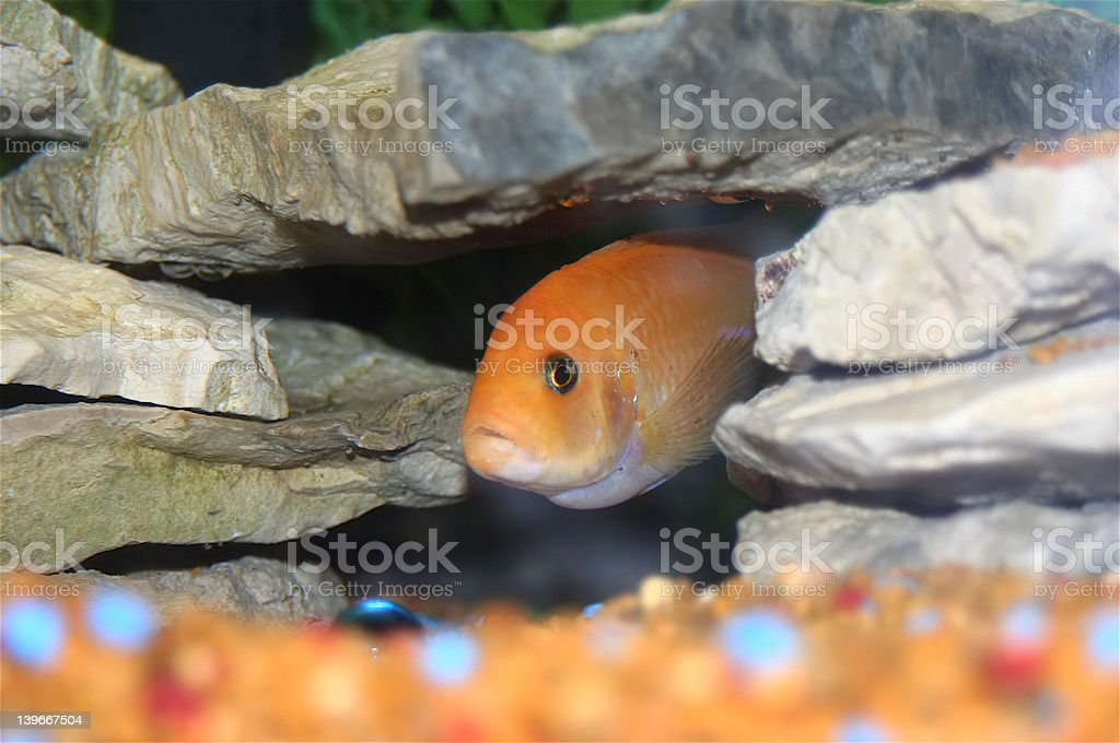 African Cichlid in rocks stock photo