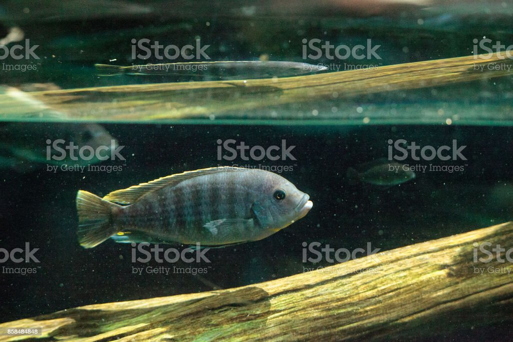 African cichlids Cichlidae stock photo