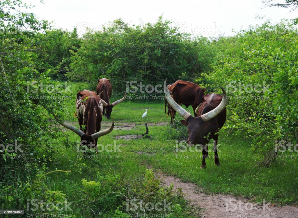 african cow stock photo