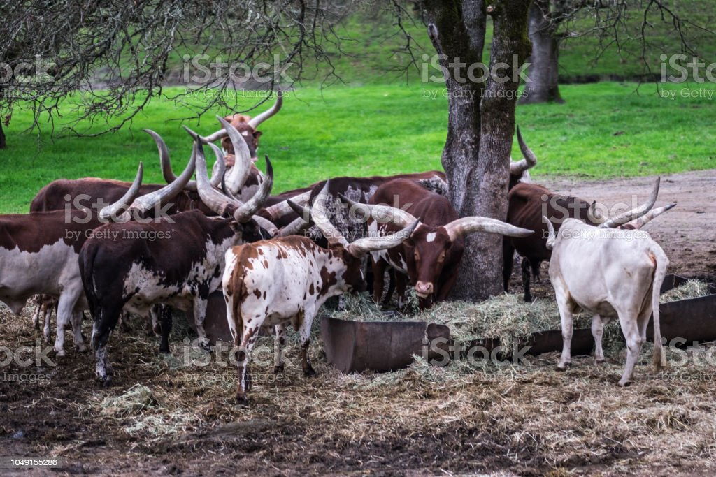 African cows with massive horns grazing in captivity - watusi stock photo