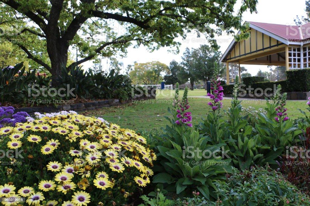 African daisies and foxgloves in park garden zbiór zdjęć royalty-free