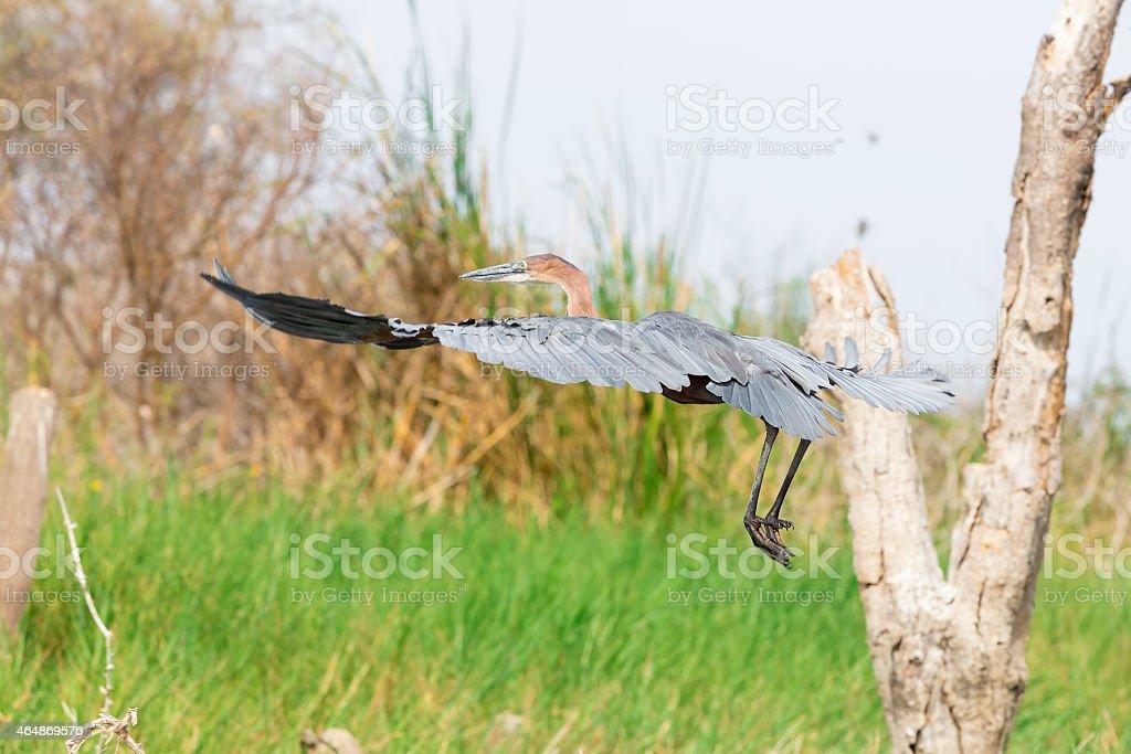 African Darter (Anhinga rufa) stock photo