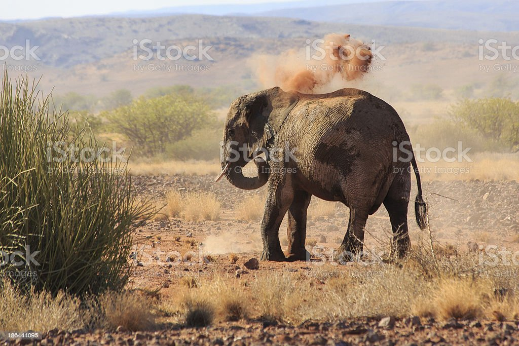 African desert elephant taking dust bath in afternoon sun stock photo