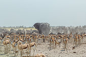 African diverse fauna in dusty dry landscape of Etosha National Park, Namibia