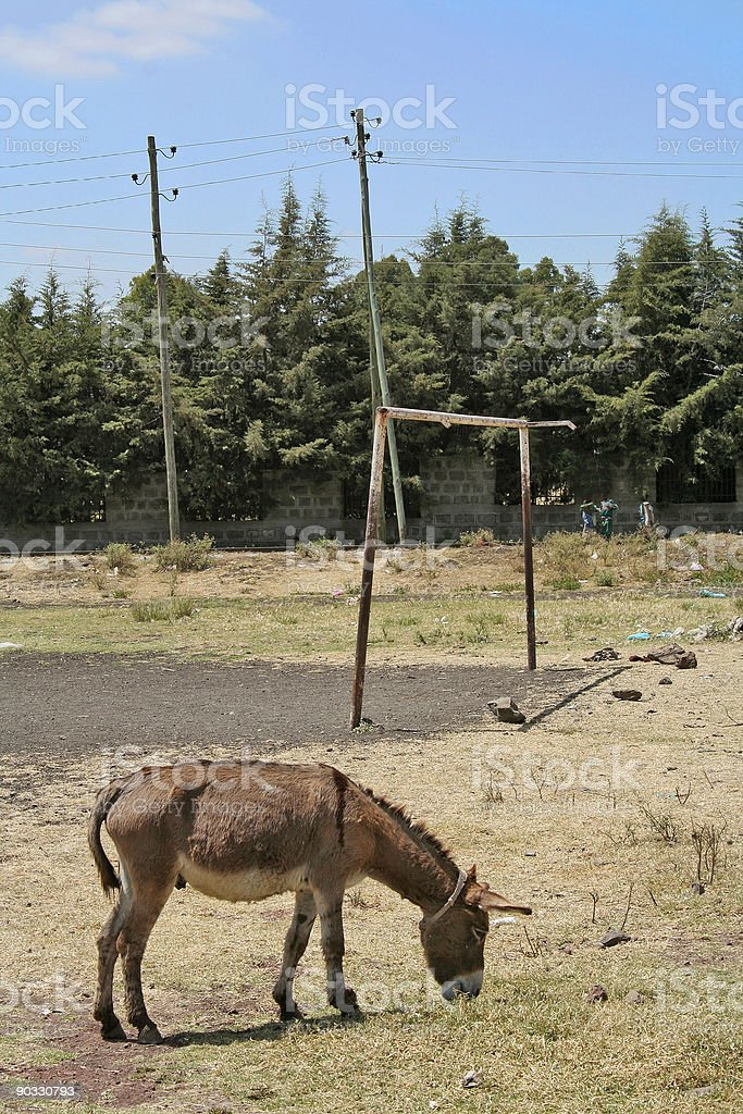 African donkey by soccer pitch royalty-free stock photo