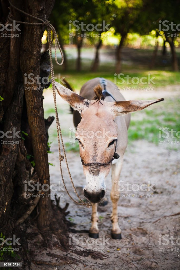 Burro africano en el campo royalty-free stock photo