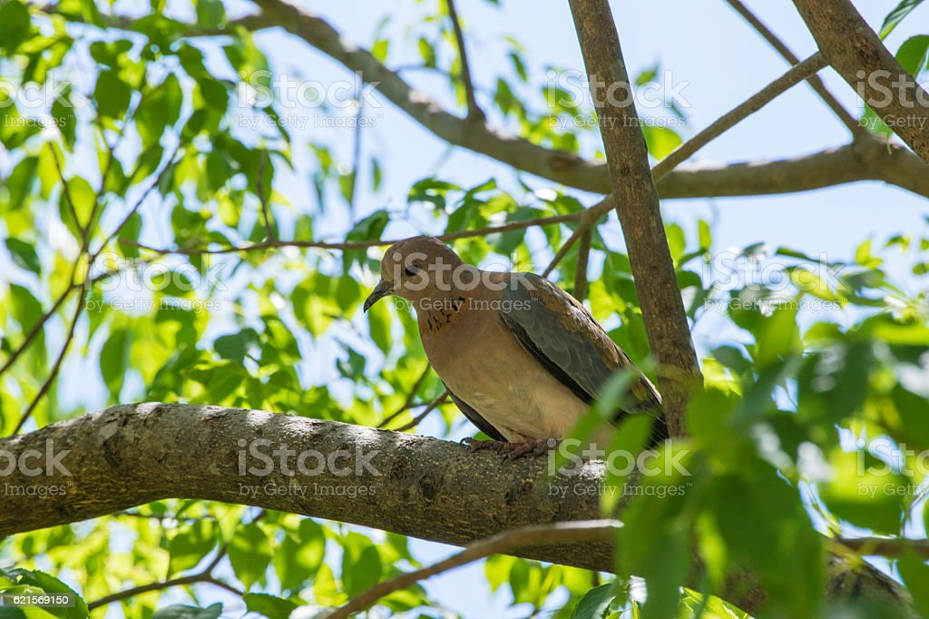 African Dove foto stock royalty-free