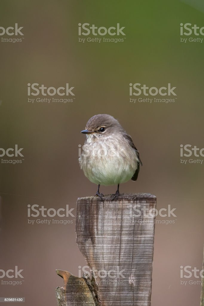 African Dusky Flycatcher perched on a wooden fence post stock photo