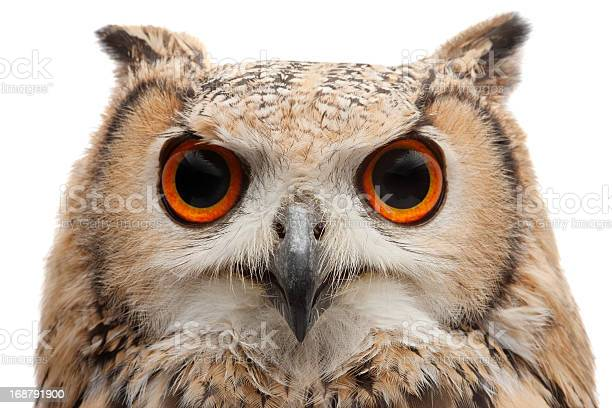African eagle owl picture id168791900?b=1&k=6&m=168791900&s=612x612&h=0oecw37dmzoodmd8mwtrl5ekl zmltvelssqnmaaybm=