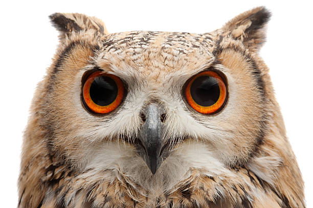 african eagle owl - owl stock photos and pictures