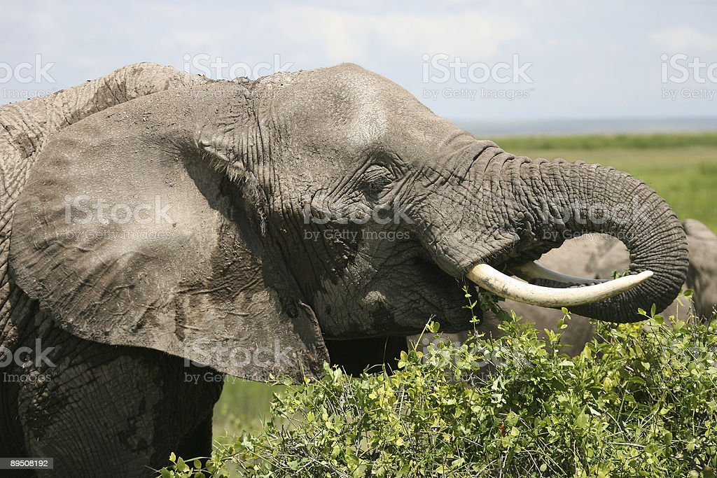 African Elephant Amboseli Kenya royalty-free stock photo