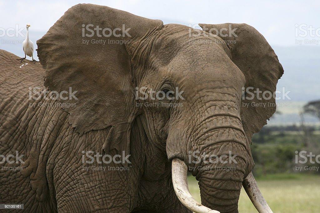 African Elephant Amboseli Kenya with Catle Egret on shoulder royalty-free stock photo