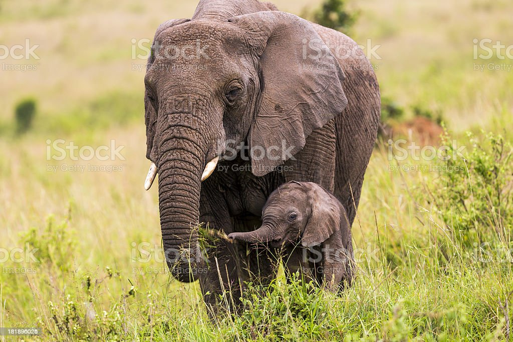 African Elephant and baby: Eating stock photo
