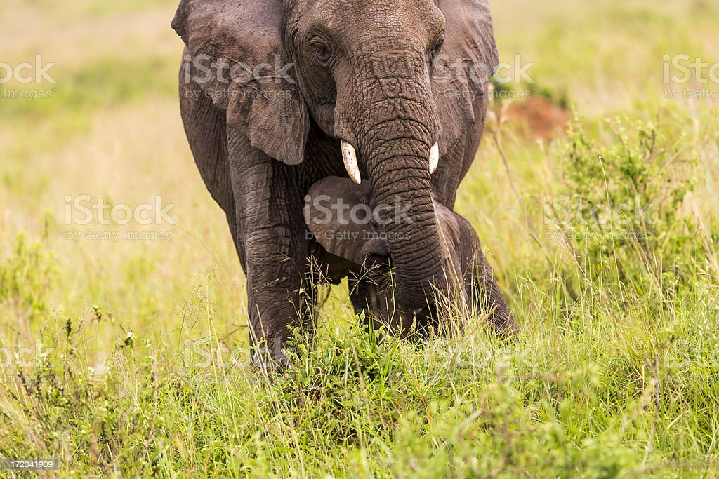 African Elephant and baby: Hiding royalty-free stock photo