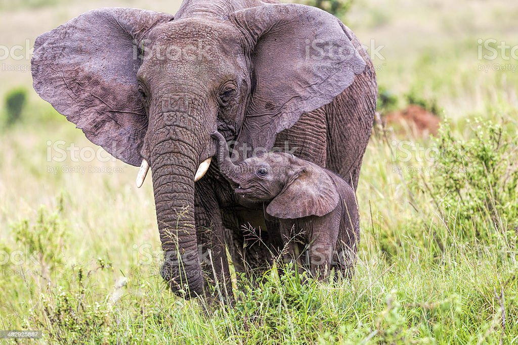 African Elephant and baby: Love - ears open stock photo