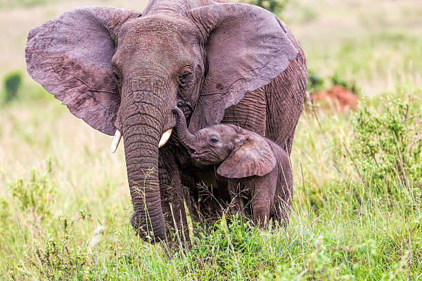 African Elephant and baby: Love - ears open [url=http://www.istockphoto.com/search/lightbox/11700863/#1c2c635a]