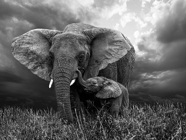 African Elephant and baby African Elephant and baby: grazing from happy mother mouth elephant calf stock pictures, royalty-free photos & images