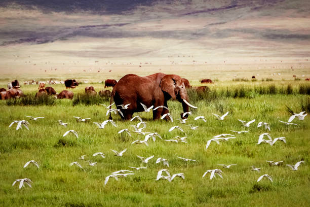 African elephant and birds in the Ngorongoro crater African elephant and birds in the Ngorongoro crater in the background of mountains ngorongoro conservation area stock pictures, royalty-free photos & images