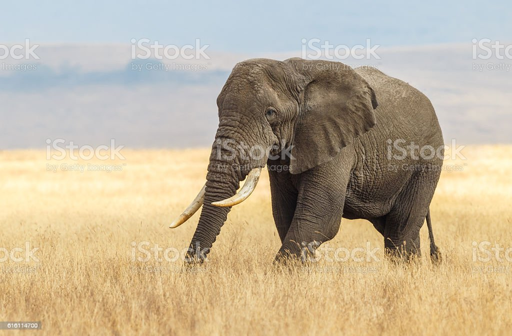 African Elephant and the Ngorongoro Savanna in Tanzania Africa stock photo