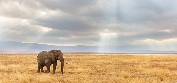 african elephant and the ngorongoro savanna in tanzania - one animal stock photos and pictures