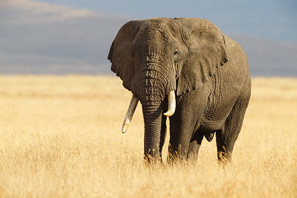 african elephant and the ngorongoro savanna in tanzania - um animal imagens e fotografias de stock