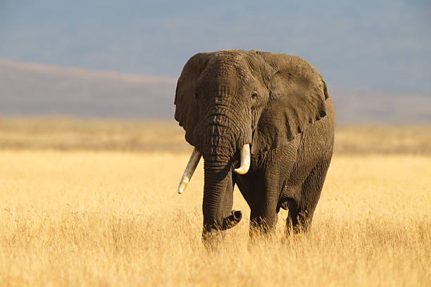 African Elephant and the Ngorongoro Savanna in Tanzania African Elephant  african elephant stock pictures, royalty-free photos & images