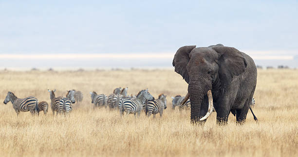African Elephant and Zebra herd in Ngorongoro Crater, Tanzania Africa African Elephant and Zebra Herd  ngorongoro conservation area stock pictures, royalty-free photos & images