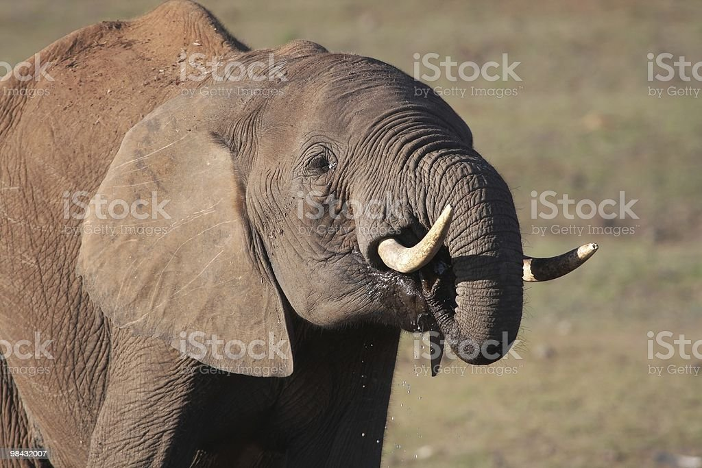 African Elephant at Waterhole royalty-free stock photo