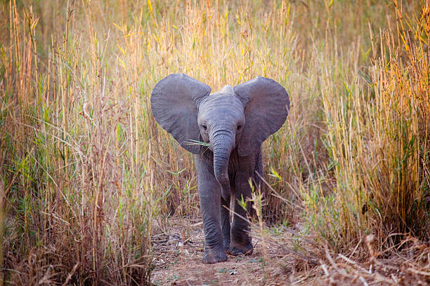 African Elephant Baby A wild African Elephant Calf eating grass.  elephant calf stock pictures, royalty-free photos & images