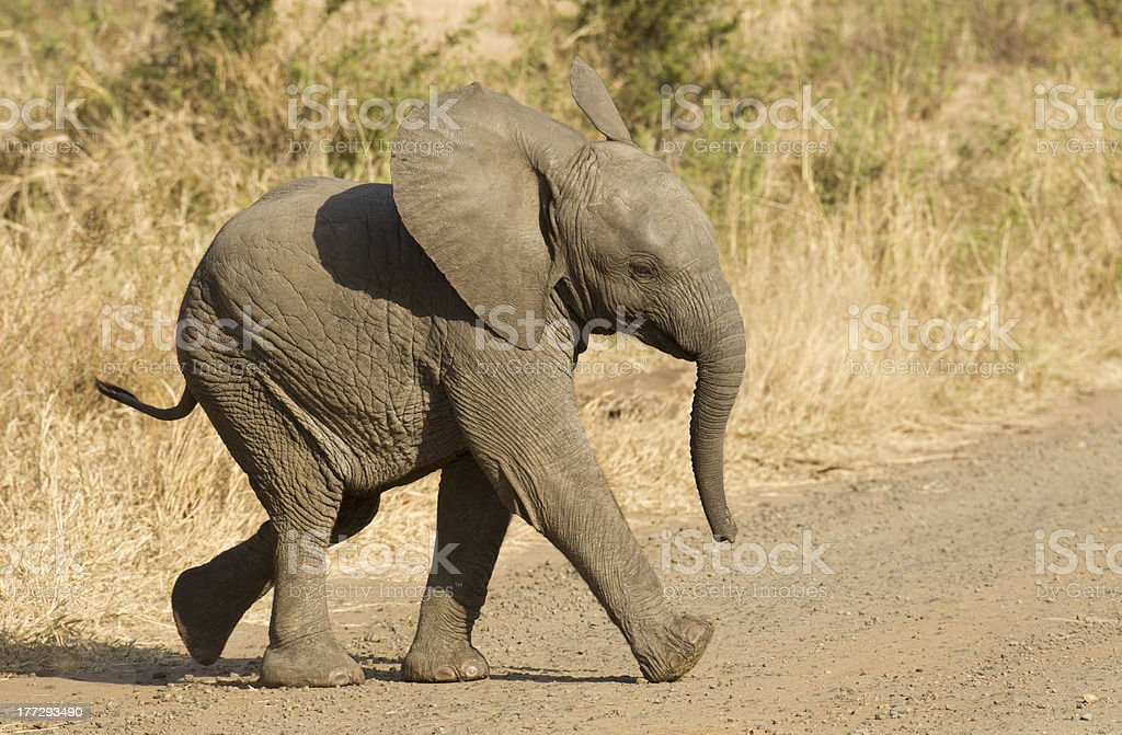 African elephant baby, South Africa stock photo