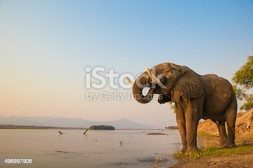 African Elephant bull drinking on the Zambezi river at sunset