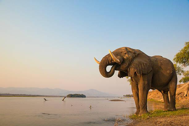 African Elephant bull drinking on the Zambezi river African Elephant bull drinking on the Zambezi river at sunset african elephant stock pictures, royalty-free photos & images